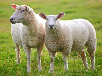dorper ovce