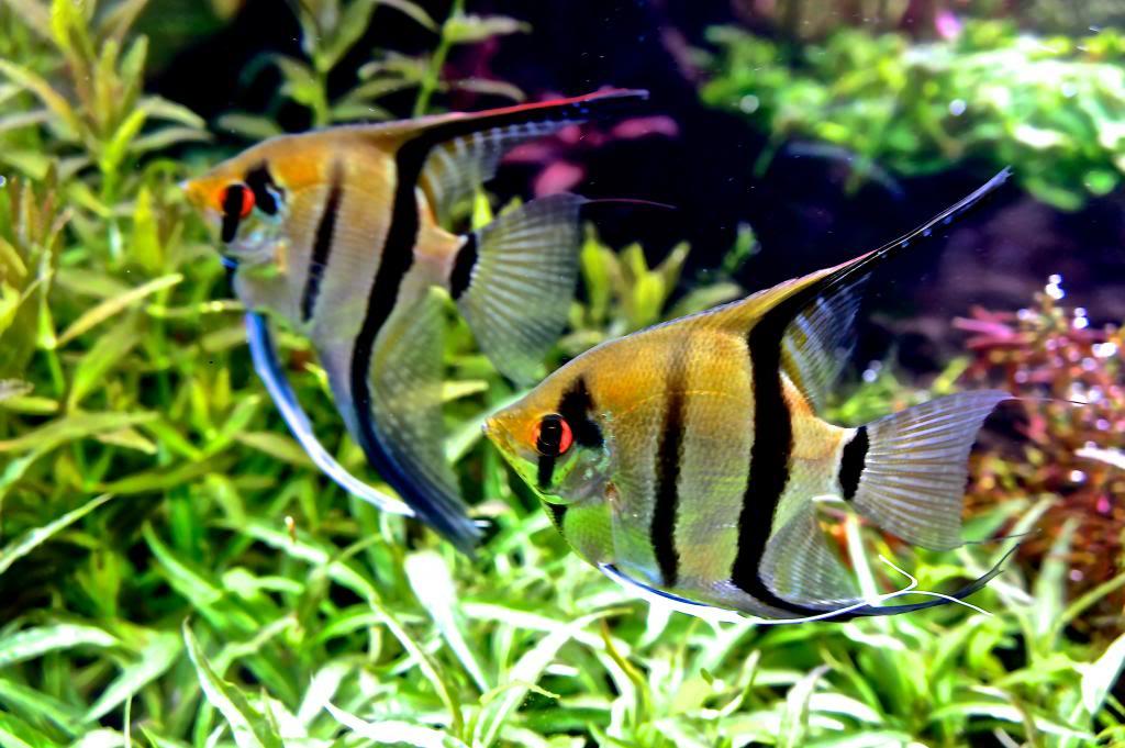 Altum Angelfish. Orinoco Skalare Pterophyllum altum