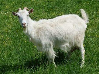 domaća koza