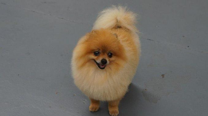 pomeranski pas