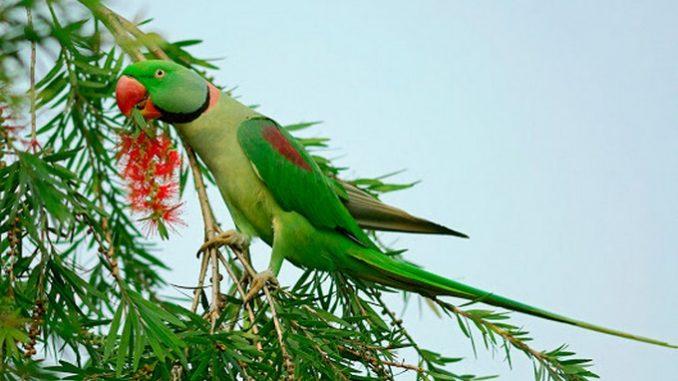 Aleksandar papiga