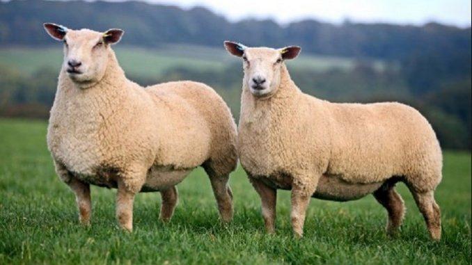 Šarole ovce