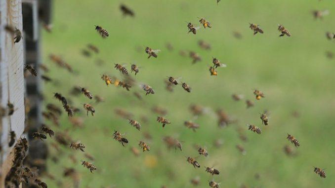 Graež u pčelinjaku