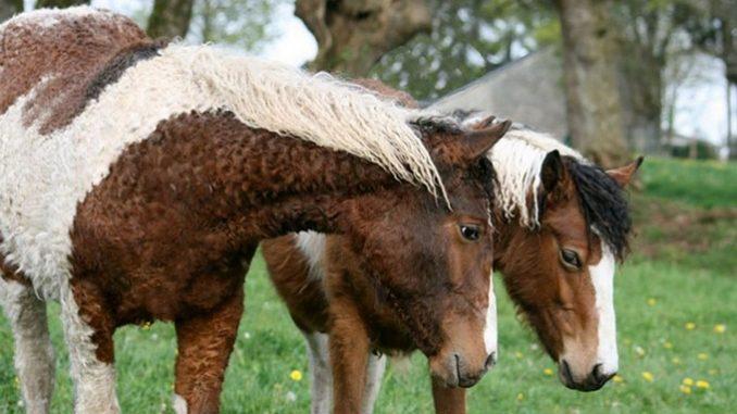 Američki Baškirski Kovdžavi Konj