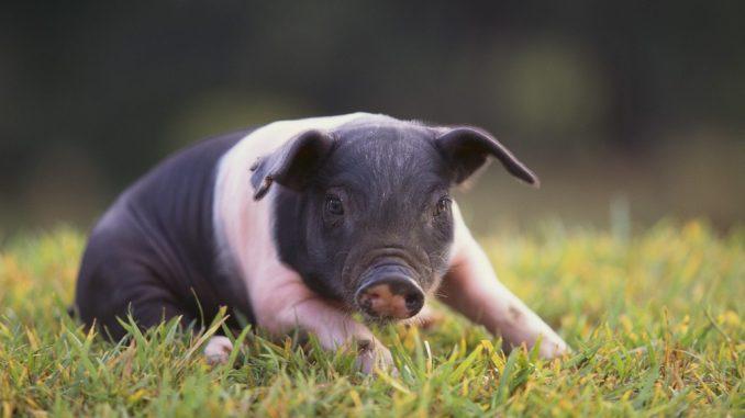 Hempšir - svinja