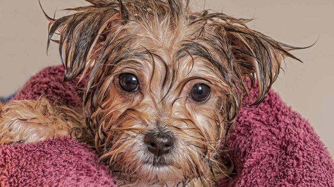 Koliko češto treba kupati psa 4