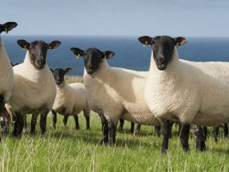 Safolk ovce