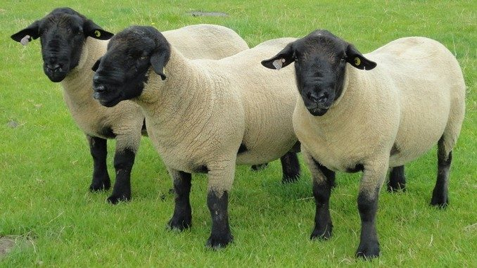Safolk - ovce