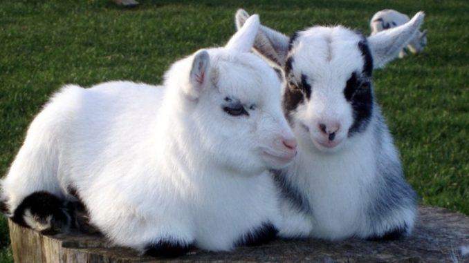 Pigmejska patuljasta koza