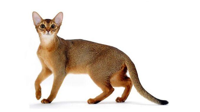 Abesinska - mačka