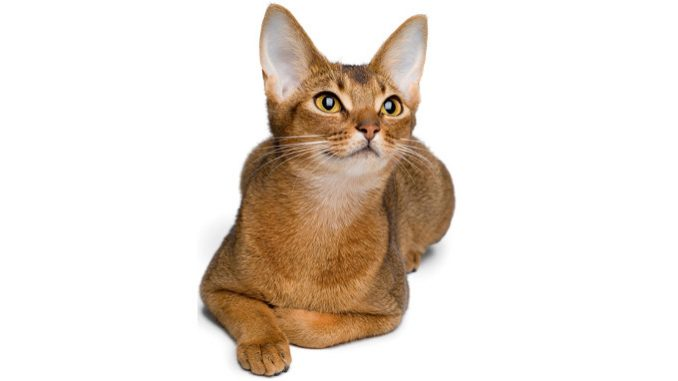 Abesinska mačka - Izgled