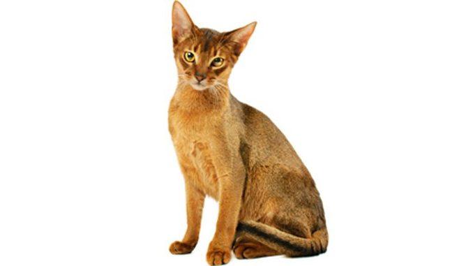 Abesinska-mačka-njega