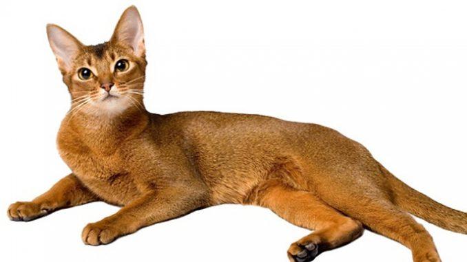 Abesinska-mačka-djeca i kucni ljubimci