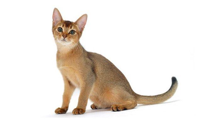 Abesinska mačka - Temperament