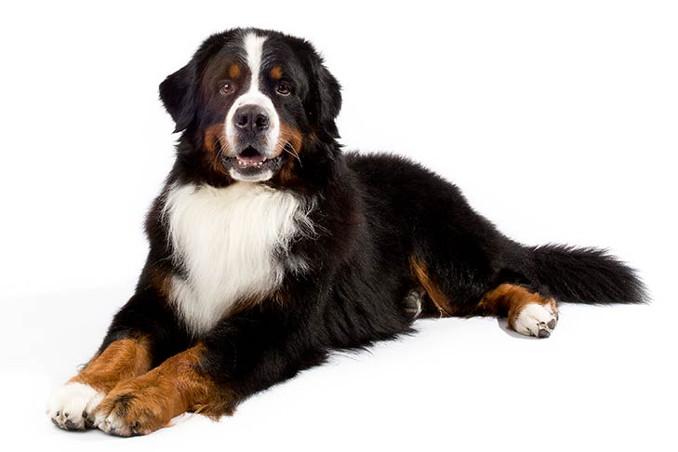 Bernski planinski pas njega