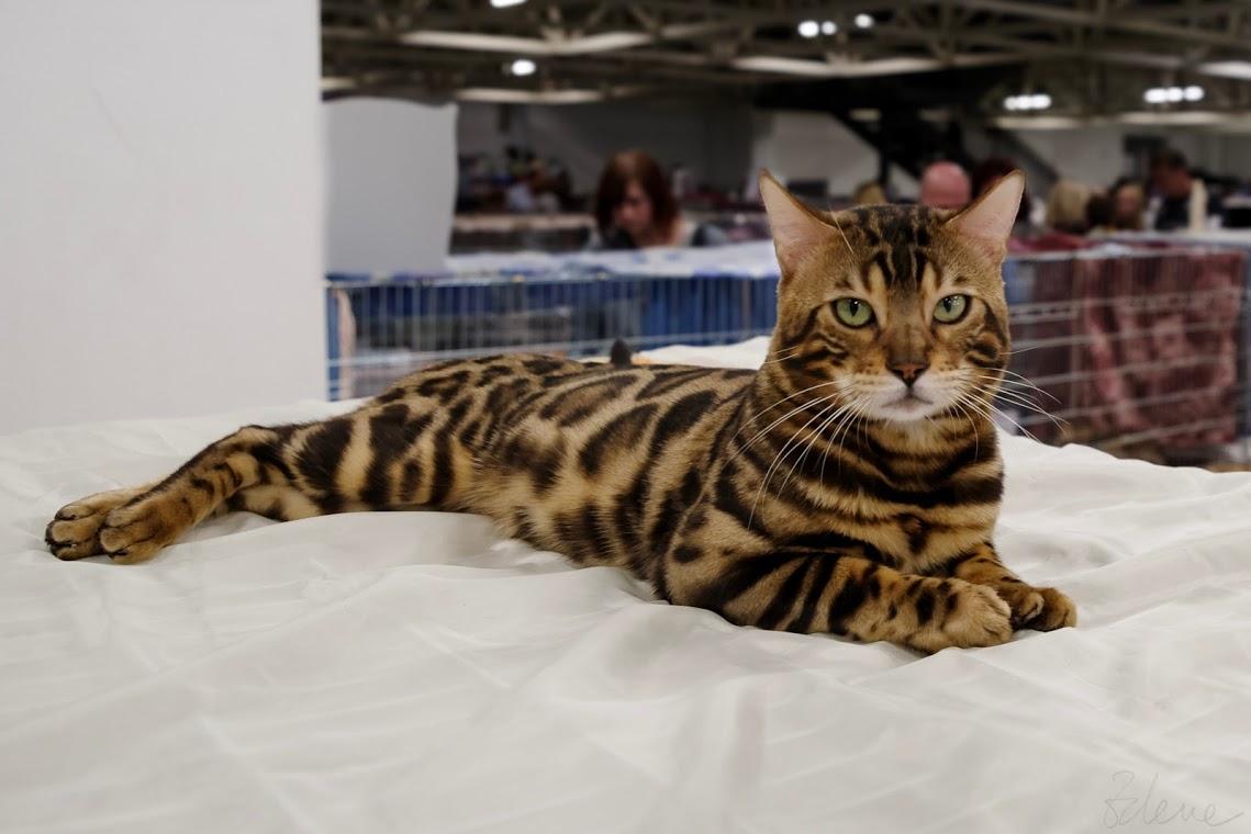 Bengalska macka benkal macici