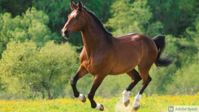 Hanoverski konj