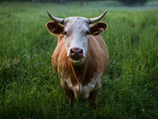 Govedarstvo