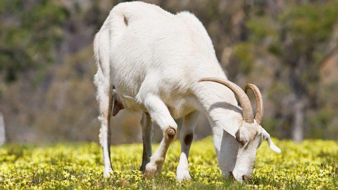 minerali-jod-bakar u ishrani koza