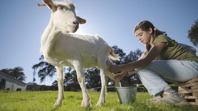 mastitis-zapaljenje vimena kod koza