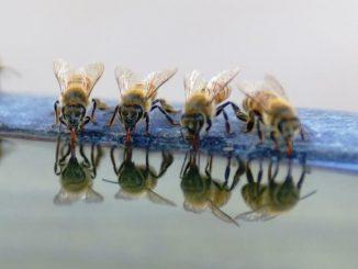 voda i pčele