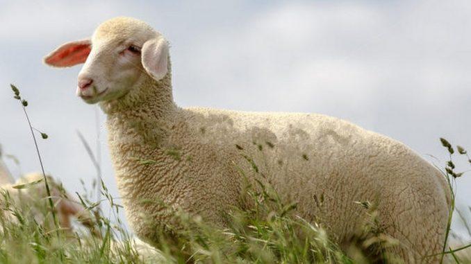 Virtemberška ovca