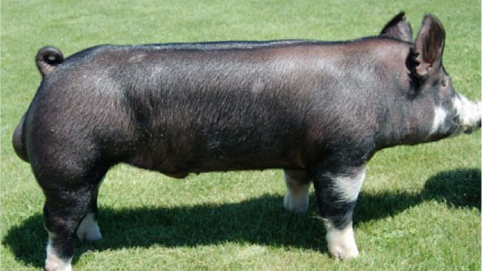 Berkšir svinja