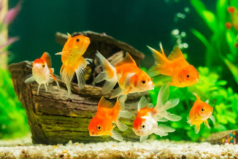 Zlatne ribice