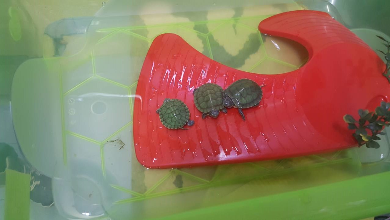 Crvenouhe kornjače