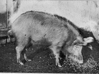 Šiška svinja