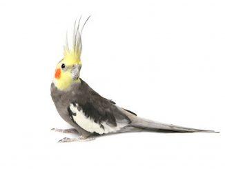 nimfa papiga
