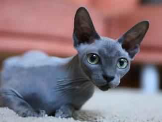 Sfinks mačka