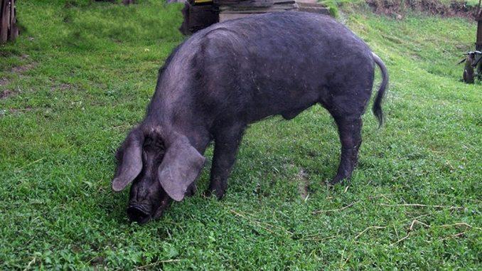 Crna slavonska svinja - fajferica