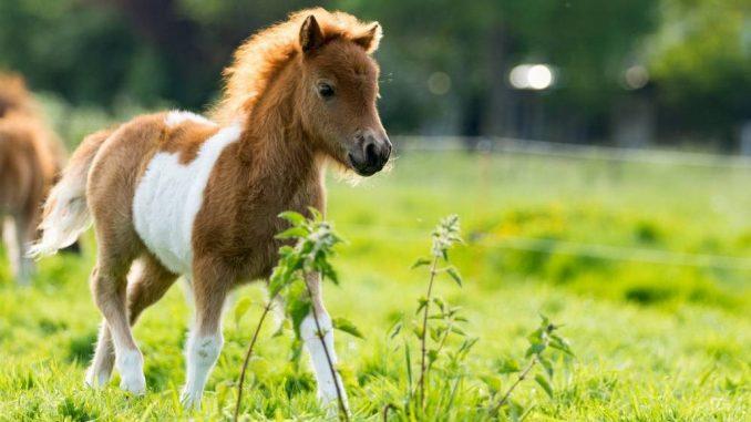 Minijaturni-konj (2)