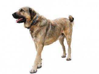 Kangal-Turski ovčarski pas