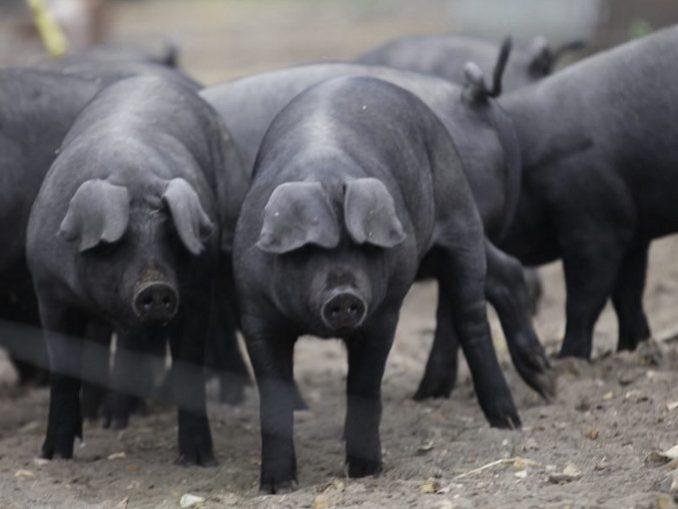 Kornval - velika crna svinja