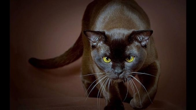 Smeđa Havana Mačka