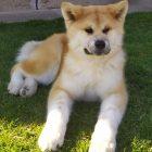 Japanska Akita (Akita-Inu) mužjak, star 7 meseci